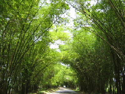 Appleton Rum Estate Bamboo Avenue