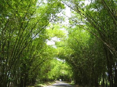 Appleton Rum Estate Bamboo Avenue